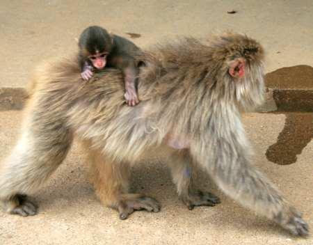 im Arashiyama Monkey Park Iwatayama
