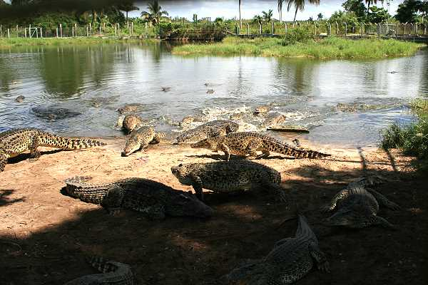 Krokodilfarm auf Fiesta Campesina